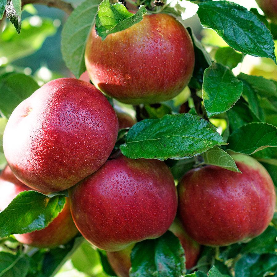 Яблоки айдаред картинки